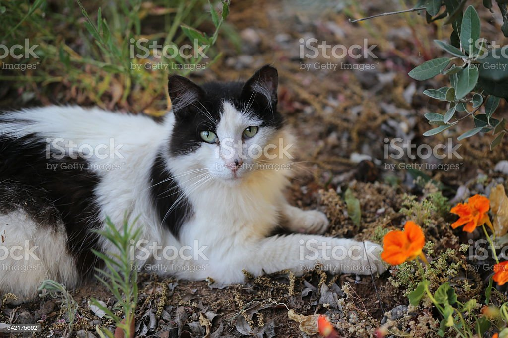White and Black Cat Near Orange Flowers stock photo