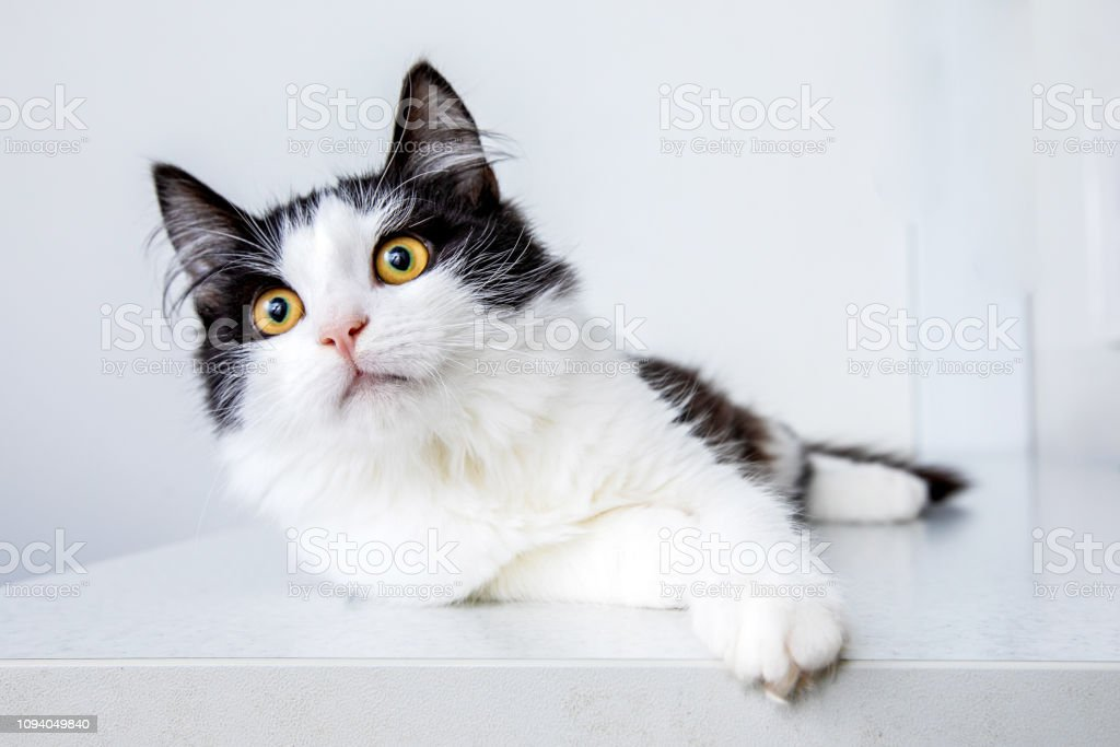 White and black funny cat on white background