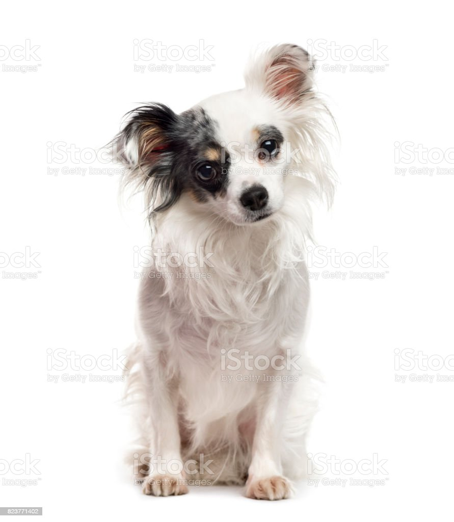White and black Chihuahua sitting, isolated on white stock photo