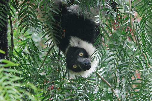 White And Black Collared Lemur Hanging In A Mimosa Branch ...