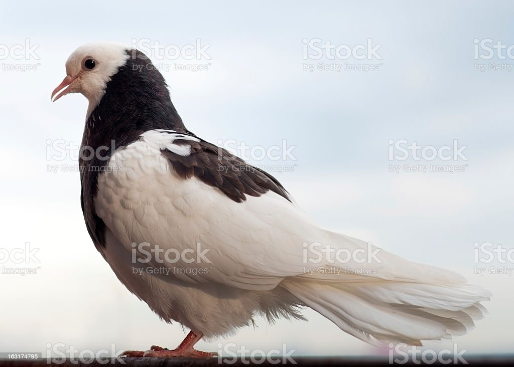 White and black Dove royalty-free stock photo