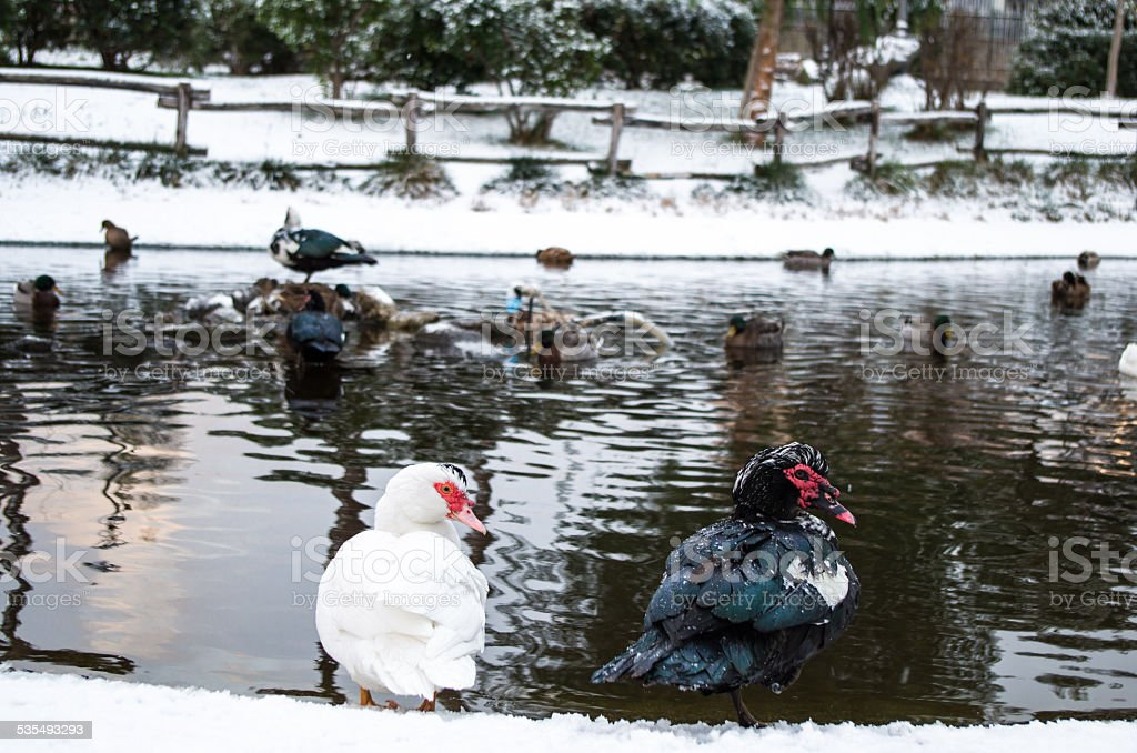 White and Black duck on snow stock photo