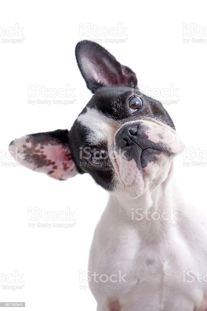 white and black french bulldog stock photo