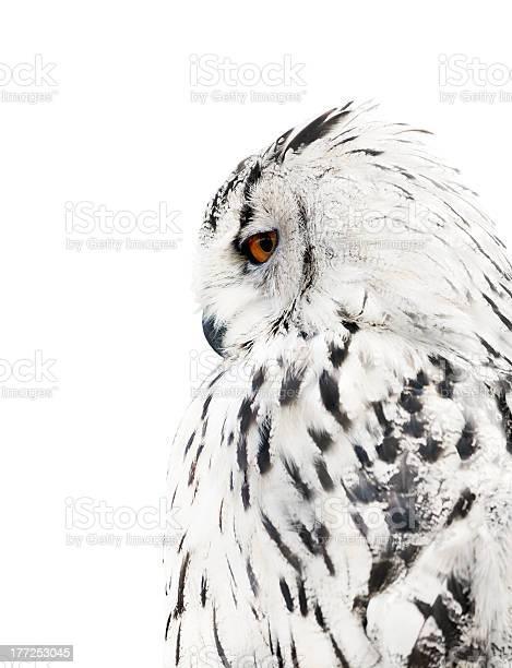 White and black isolated owl picture id177253045?b=1&k=6&m=177253045&s=612x612&h=e1fg wsmggjfgokqacon4zms1djnhvjsrfipcwcdema=