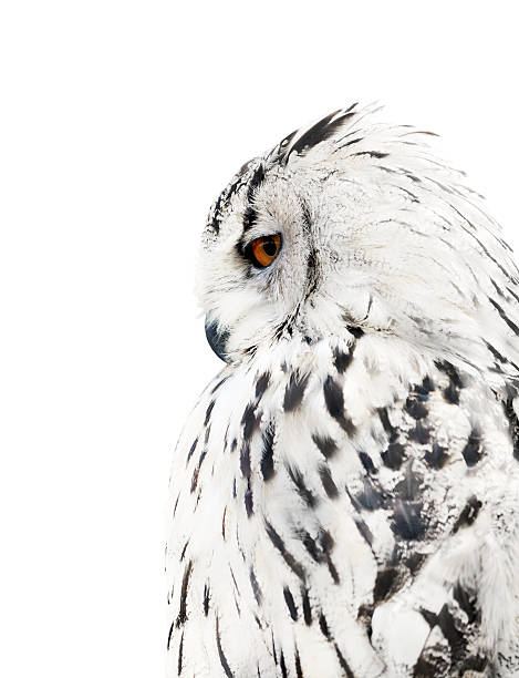 white and black isolated owl - owl stock photos and pictures