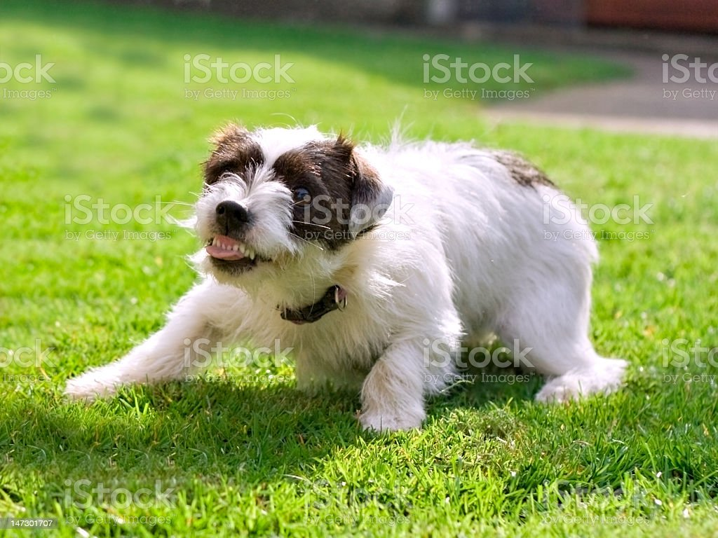 White and black Jack Russell terrier playing on the grass stock photo