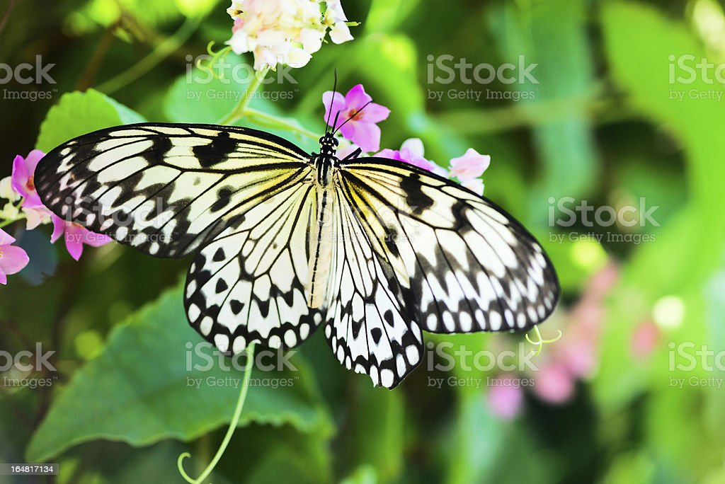 White and black Nimph butterfly on flowers stock photo