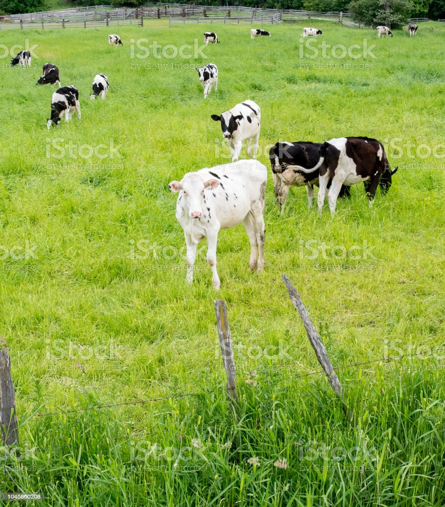 White and black patch cows in rich pasture country in Kelowna Canada stock photo