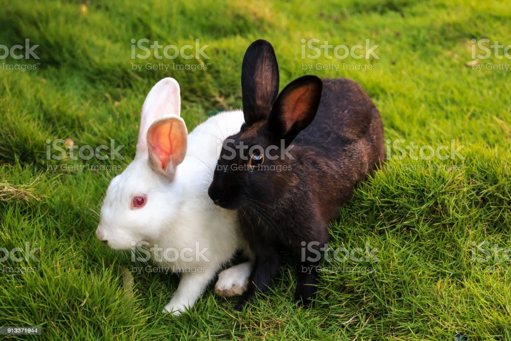 white and black rabbits on the grass stock photo