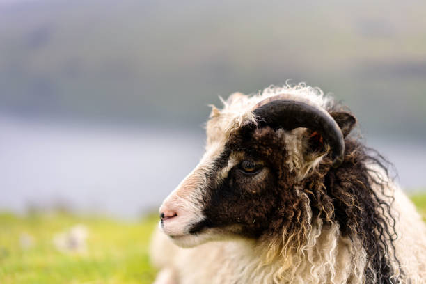 White and black sheep head with curly wool. Faroese sheep close-up photo. stock photo