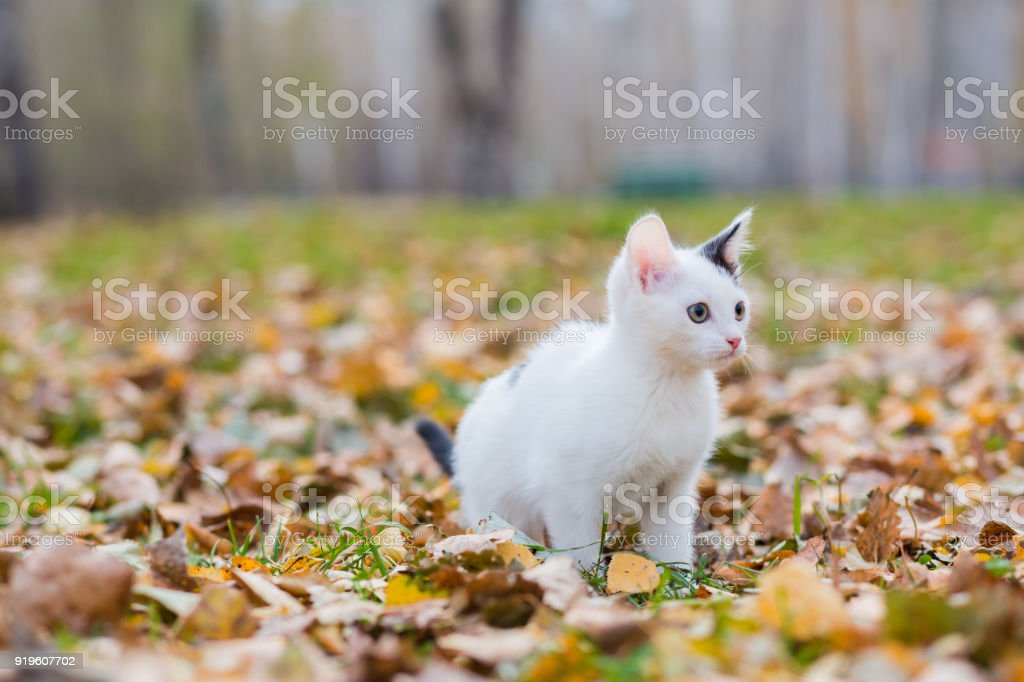 White and black small kitten on autumn glade among fallen leaves stock photo