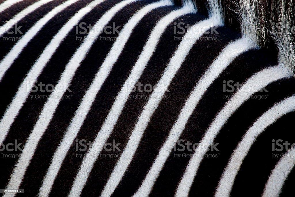 White and black stripes of a zebra. stock photo