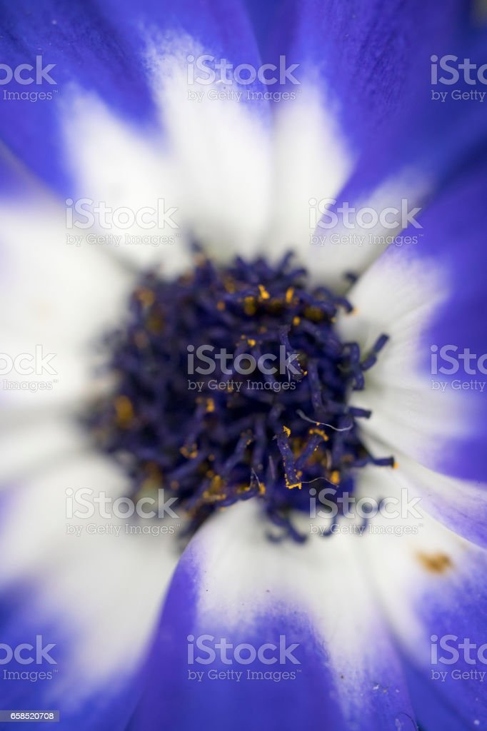 white and blue petal with pistel, stamen and pollen. focused on the top of pistel and pollen and rest of area defocused stock photo