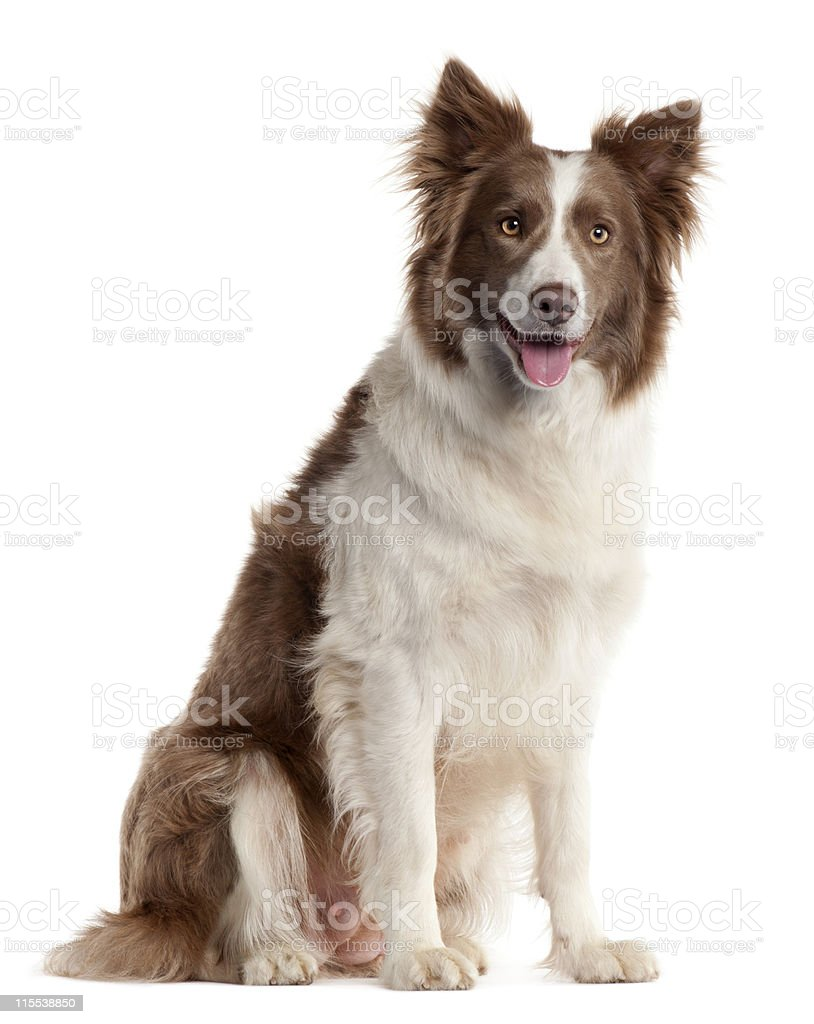 White And Brown Border Collie Dog On White Stock Photo