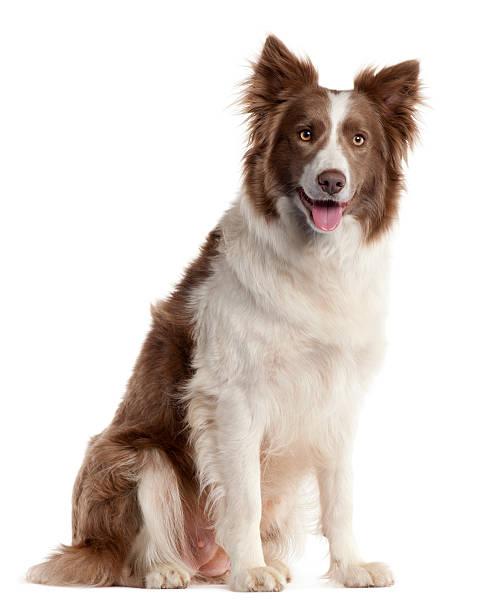 Blanco y marrón de perros border collie en blanco - foto de stock
