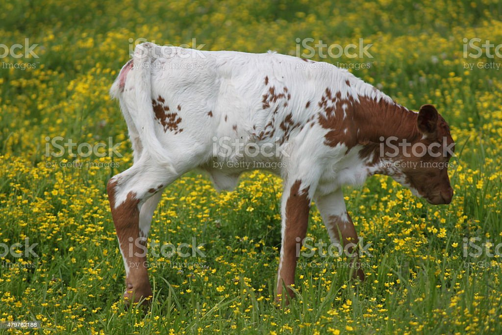 White and brown calf on the farm stock photo