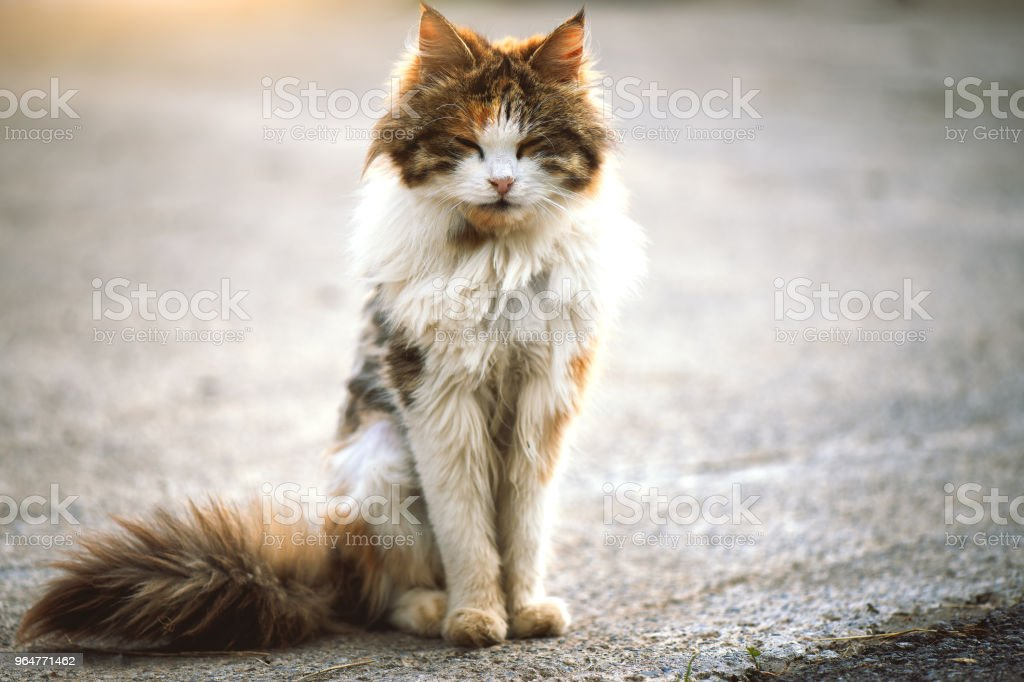 White and brown cat crouched on the ground royalty-free stock photo