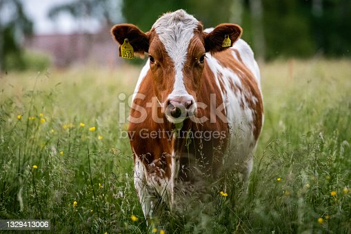istock White and brown cow on a green field 1329413006