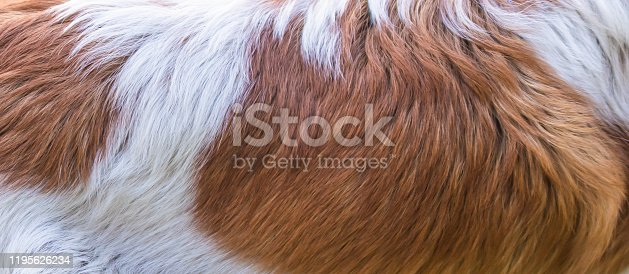 white and brown dog hair