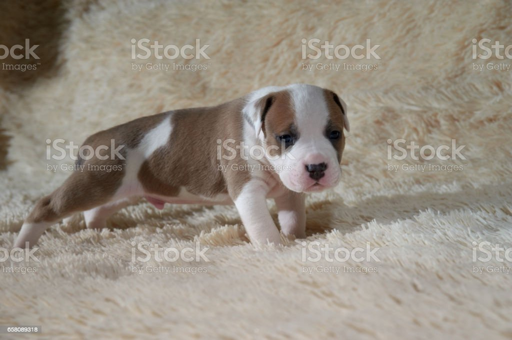 white and brown puppy American stafford terrier posing in studio royalty-free stock photo