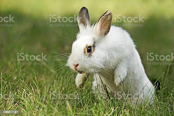 White and brown rabbit on grass in mid jump picture id146927161?b=1&k=6&m=146927161&s=612x612&h=9dbky5ogyqtk18iu4hpnk m1rlyoufbvtugnc32om2i=