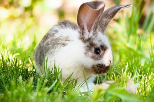 White and brown rabbit sitting in grass, smiling at camera