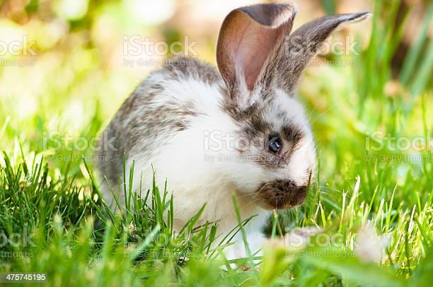White and brown rabbit sitting in grass smiling at camera picture id475745195?b=1&k=6&m=475745195&s=612x612&h=u5wuvmtb0iwa0b8g9d0egvbyz7bcvidiaxkvscsyzeq=