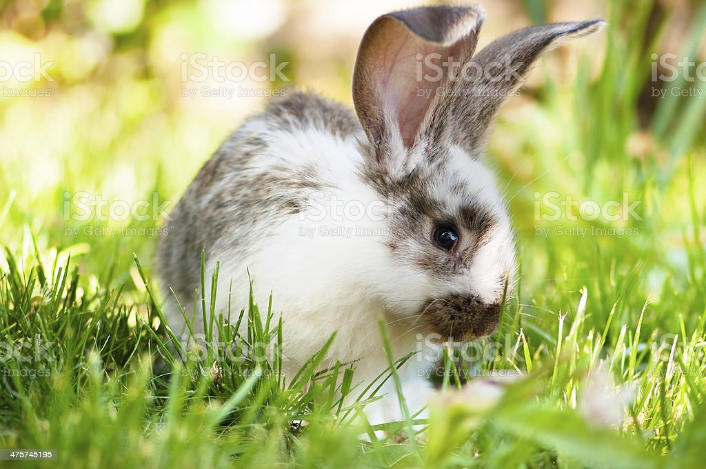 White and brown rabbit sitting in grass, smiling at camera stock photo