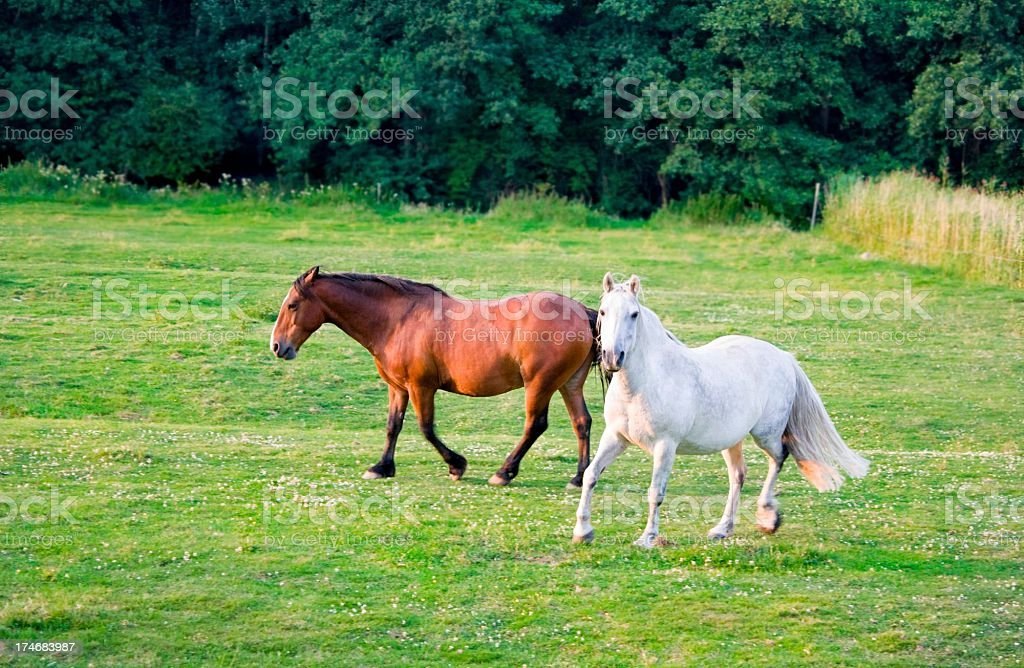 white and brown running horse royalty-free stock photo