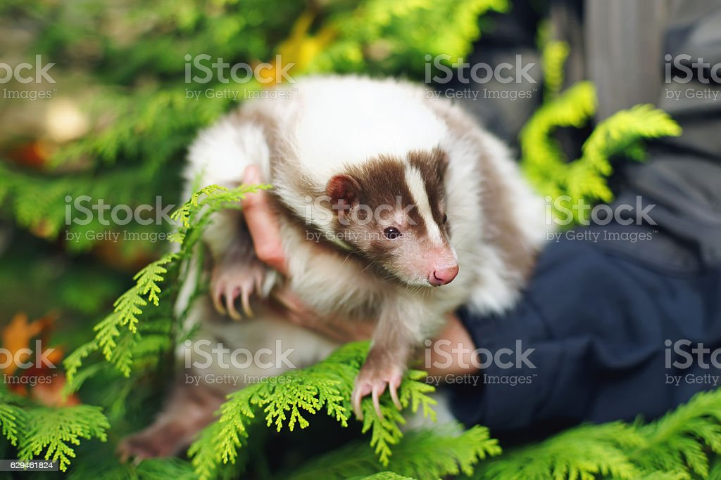 White and brown striped domestic skunk in woman's hands stock photo
