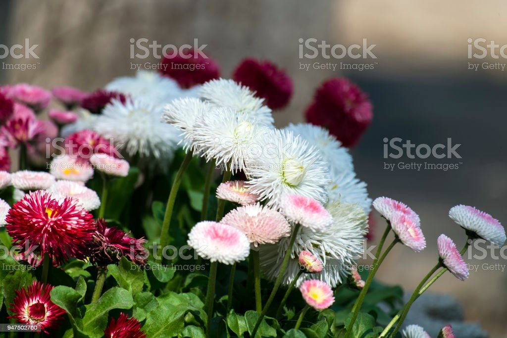 White and claret garden english daisies (Bellis perennis) stock photo