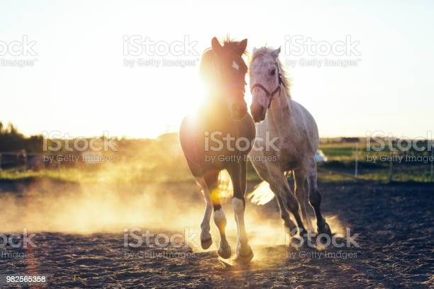 White and dark horse gallopading in the sand picture id982565358?b=1&k=6&m=982565358&s=612x612&h=tezmuo8iutqu1scdd1hwa0gynpld2wv mx6axi j9ji=