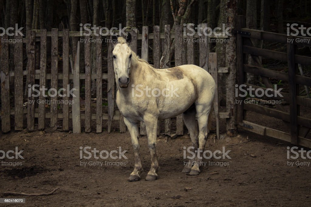 White and dirty horse on the farm. royalty-free stock photo