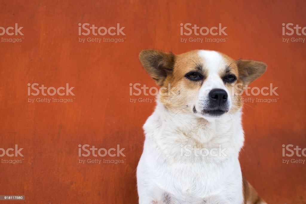 White and frown ugly dog look arrogant. SHe is like a real boss stock photo