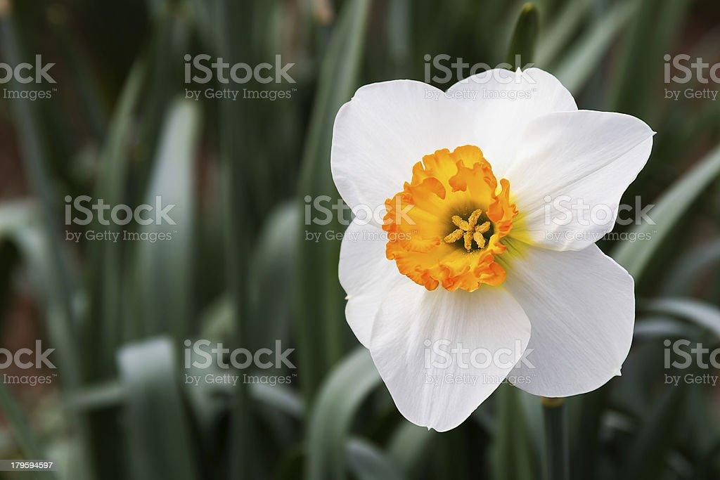Bianco e Golden Oragne Narciso foto stock royalty-free