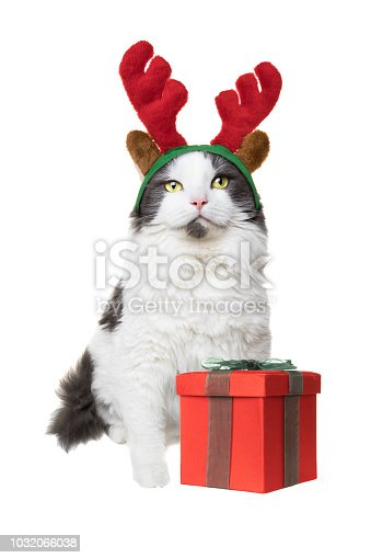 A white and gray longhair cat isolated on a white background with a present and wearing reindeer antlers for Christmas.