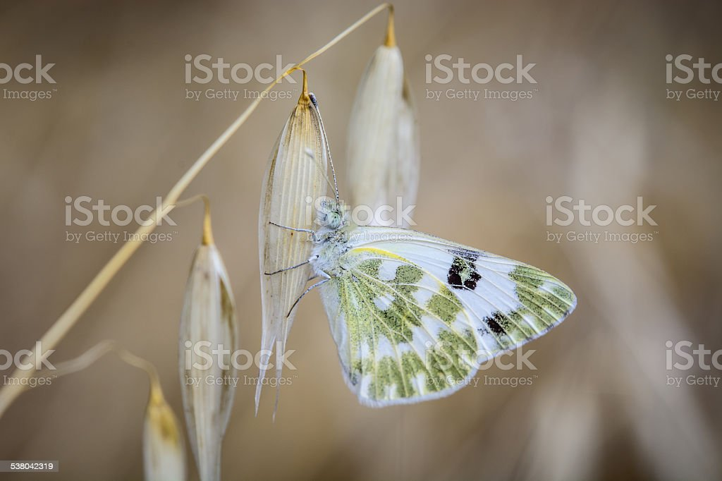 white and green butterfly on branch innkeeper stock photo