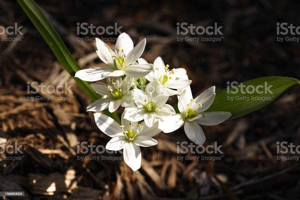 White and Green Ornithogalum Umbellatum stock photo