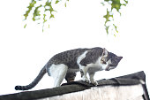 White and Grey cat on the roof top of the house. Welcome back home