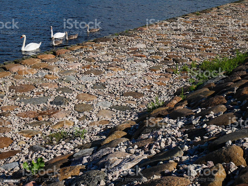 White and Grey Swan family with stone backround stock photo