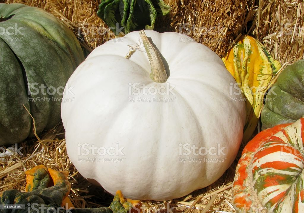 White and other coloful pumpkins stock photo