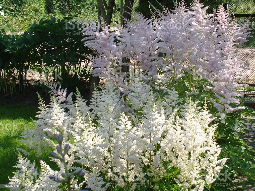 White and Pink Astilbe flowers stock photo