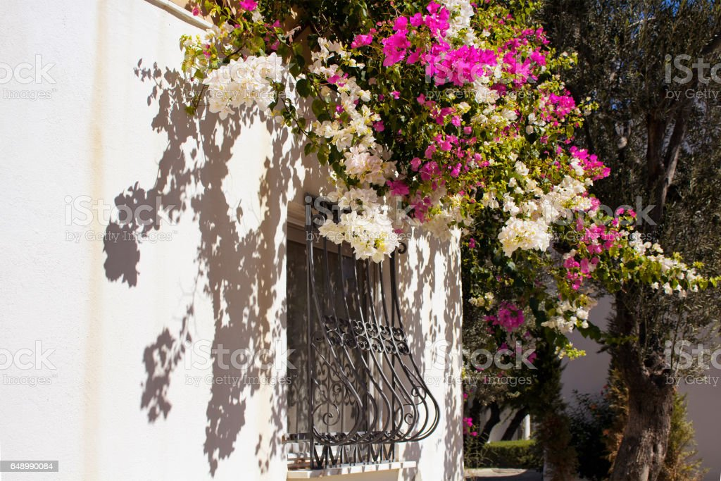 White and pink Bougainvillea flowers on traditional summer house in Bodrum. It's a common aegean and mediterranean garden decoration style. stock photo