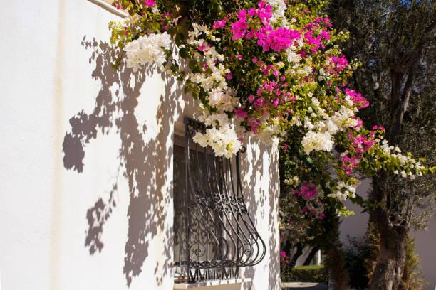 보드 럼에 있는 전통적인 여름 집에 흰색과 분홍색 부겐빌레아 꽃. 그것은 일반에 게 해 그리고 지중해 정원 장식 스타일입니다. - 굼베 뉴스 사진 이미지