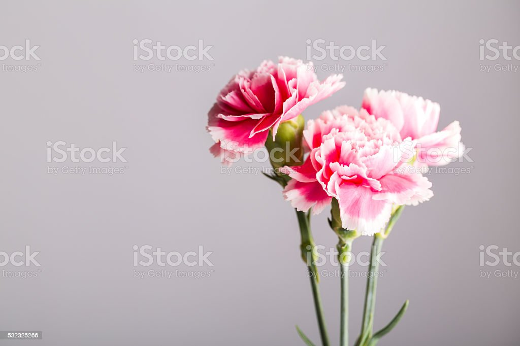 white and pink carnation studio shot  with grey background