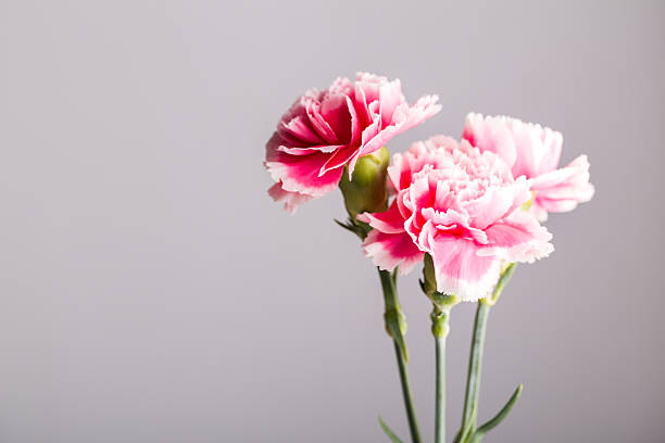 white and pink carnation studio shot  with grey background stock photo