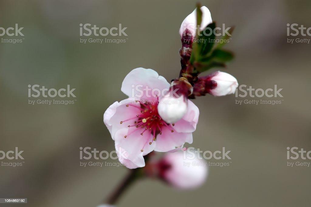 Weiß-rosa Kirschblüte, detail – Foto