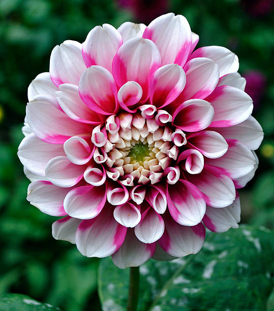 White and Pink Dahlia White and pink dahlia. neilliebert stock pictures, royalty-free photos & images