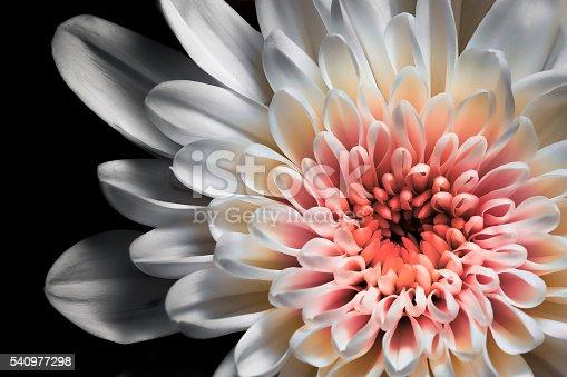 istock White and pink dahlia 540977298