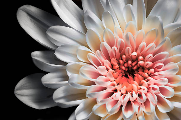 White and pink dahlia Macro shot of a dahlia single flower stock pictures, royalty-free photos & images
